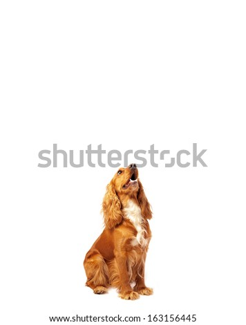 Cute brown cocker spaniel with empty space - stock photo