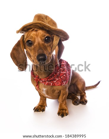 Cute brown Daschund puppy sitting on white background wearing cowboy bandana and hat - stock photo