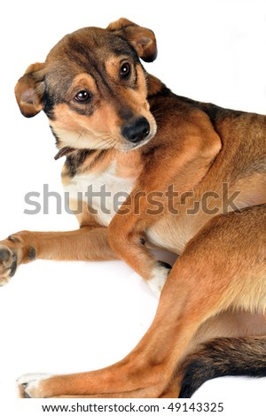 cute  brown dog is  lying quietly