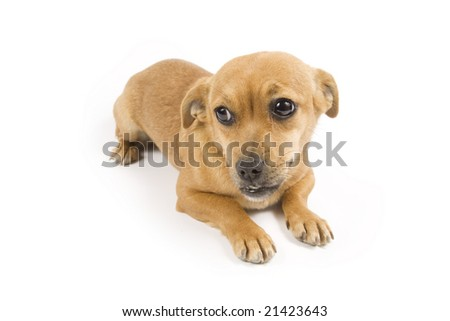 Cute brown dog on white background