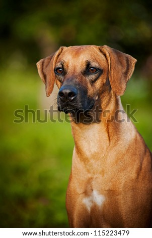cute brown dog Ridgeback portrait in summer - stock photo