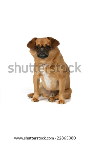 cute brown dog with black nose sitting against high key background
