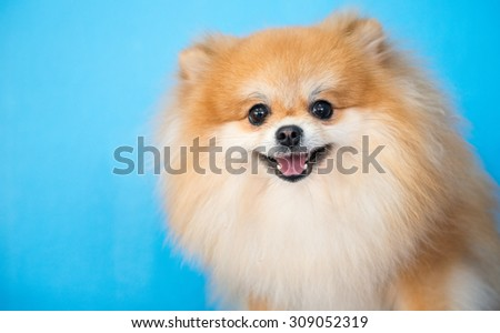 cute brown pomeranian dog on blue background