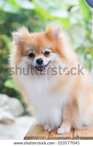 cute brown pomeranian dog sit on the chair