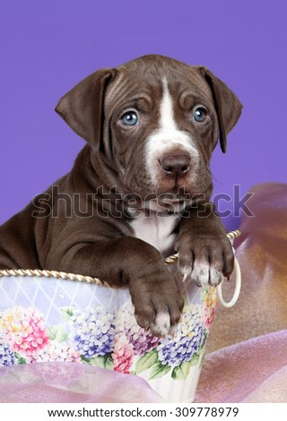 Cute brown puppy on a purple background, portrait