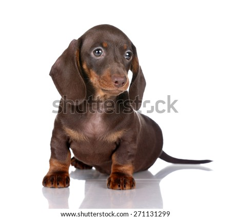 Cute brown puppy sitting on a white background - stock photo