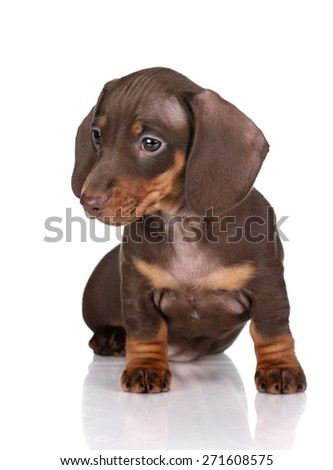 Cute brown puppy with big ears