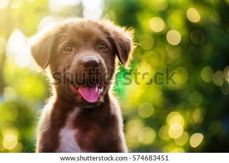Good Cute Canine Brown Adorable Dog - stock-photo-cute-brown-smile-happy-labrador-retriever-puppy-against-foliage-sunset-light-bokeh-background-574683451  You Should Have_29764  .jpg