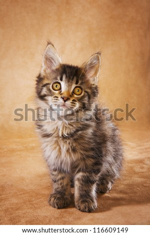 Cute brown tabby Maine Coon kitten on golden background - stock photo
