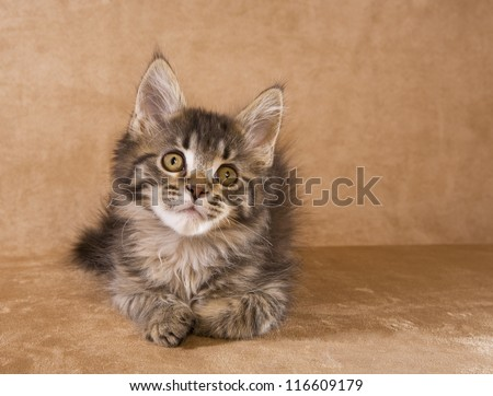 Cute brown tabby Maine Coon kitten on golden background