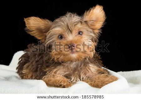 Cute brown Yorkshire terrier in a bed of white blanket against a black background - stock photo