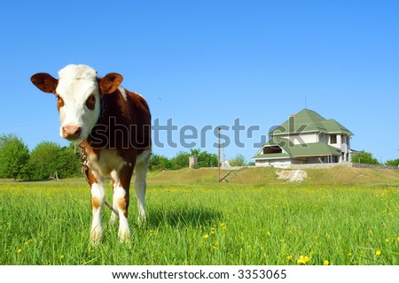 Cute bull-calf looks at you in front of house - focus on animal. Shot in Ukraine.