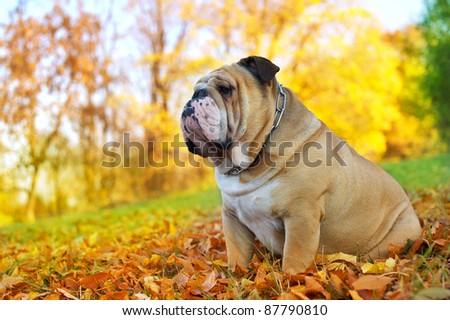 Cute Bulldog in a park in autumn - stock photo