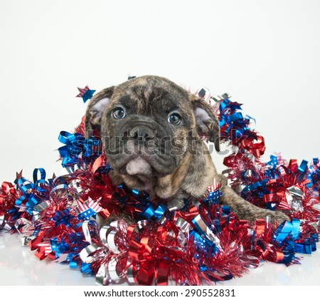Cute Bulldog puppy all wrapped up in patriotic garland, on a white background.