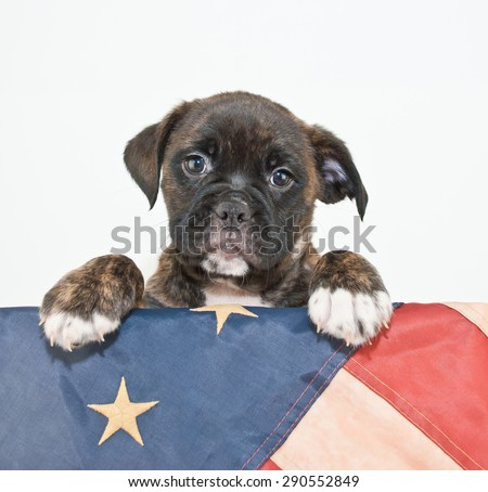 Cute Bulldog puppy with his paws up on an American flag on a white background, with copy space.
