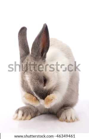 Cute bunny rabbit cleaning it's face with it' paws - stock photo