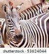 Cute burchell zebra from a safari zoo - stock photo
