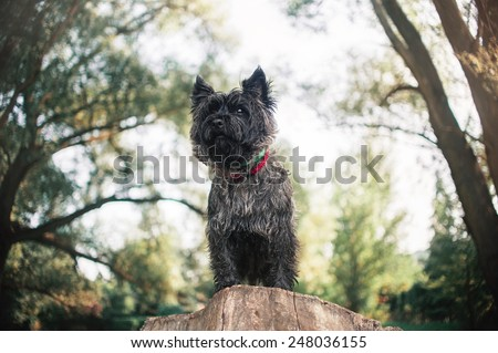 Cute Cairn Terrier dog, portrait close on sky backgrond
