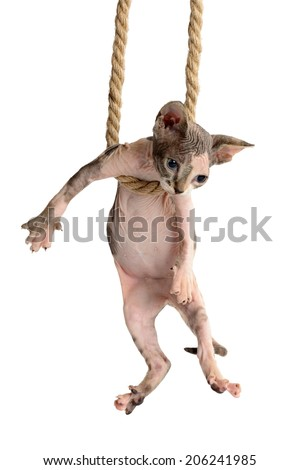 cute canadian sphynx kitten hanging on rope. isolated on a white background - stock photo