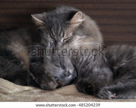 Cute cat and kitten sleeping together, hugging each other. gray cats, furry, different breeds. Concept - heat, bliss, love