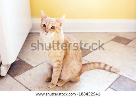 Cute Cat in Home Kitchen