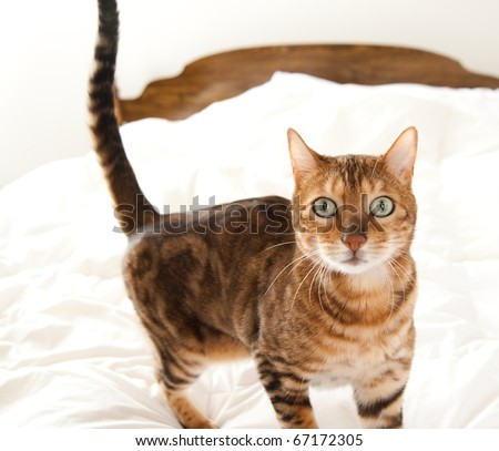 Cute Cat Jumped on Owner's Bed - stock photo