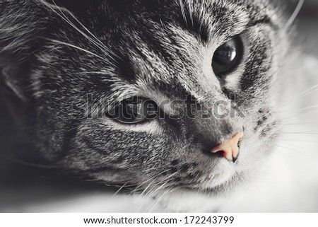 Cute cat lying in lazy, sleepy pose looking at the camera with its magnetic eyes. Close portrait. Black and white with red nose - stock photo
