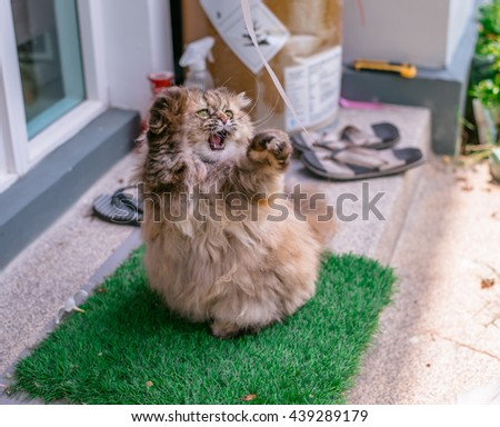 Cute Cat. Persian Cat, Animal portrait. lovely Cat, Tabby Cat, Cat in the garden,Persian cat in the home garden with flower on grass, friendly cat, Persian cat playing, Persian cat chill, Persian  - stock photo