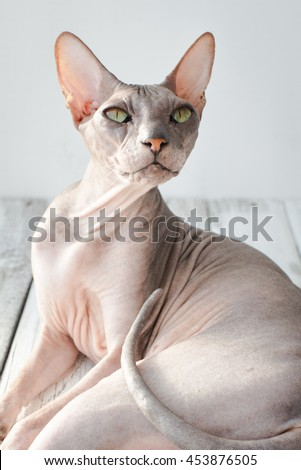 cute cat sphinx on a white wood background, selective focus - stock photo