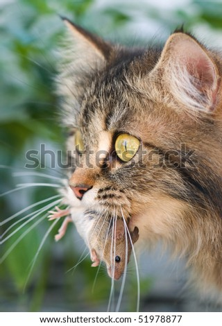 Cute cat with gray mouse. Close-up, outdoor. - stock photo