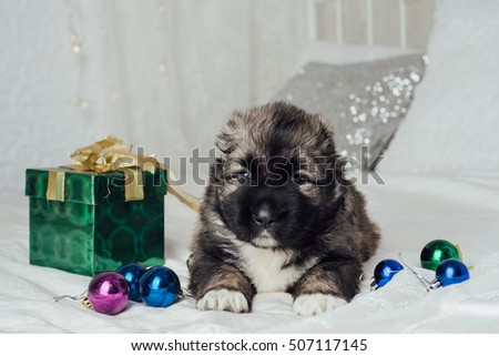 Cute caucasian Shepherd puppy with christmas and New Year decoration
