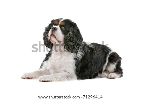 Cute Cavalier King Charles Spaniel dog lying, on a white background