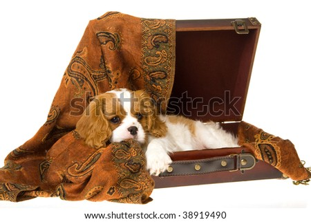 Cute Cavalier King Charles Spaniel puppy lying in brown suitcase