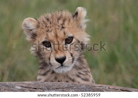 Cute cheetah cub peering inquisitively over a log - stock photo