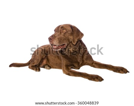 Cute Chesapeake Bay Retriever Dog lying down on white background - stock photo