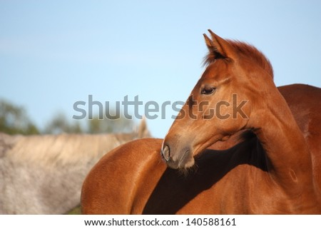 Cute chestnut baby horse portrait in summer - stock photo