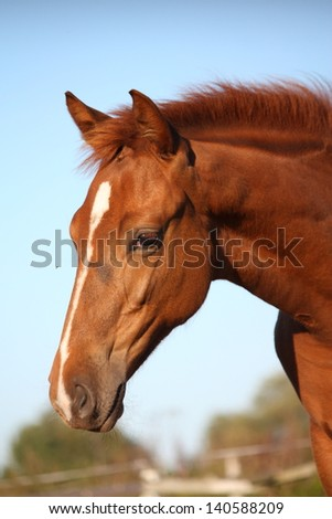 Cute chestnut baby horse portrait in summer