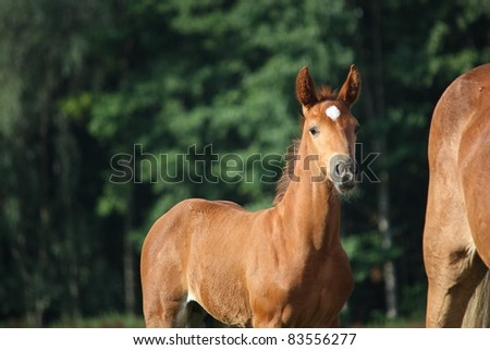 Cute chestnut foal portrait - stock photo