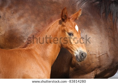 Cute chestnut foal standing near his mother - stock photo