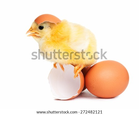 Cute chick isolated with eggs - stock photo