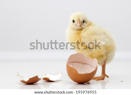 Cute chicken with eggs - stock photo