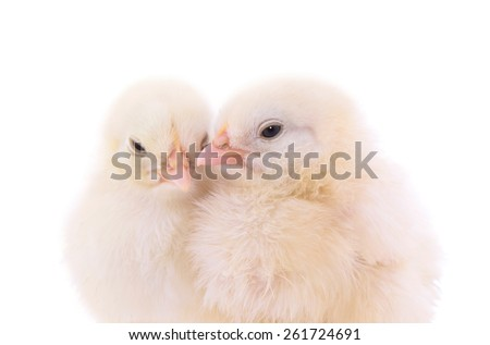 Cute chicks on white background - stock photo