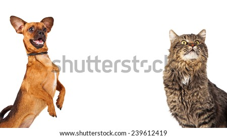 Cute chihuahua dog dancing on hind legs and a cute tabby cat together with white space room for text  - stock photo