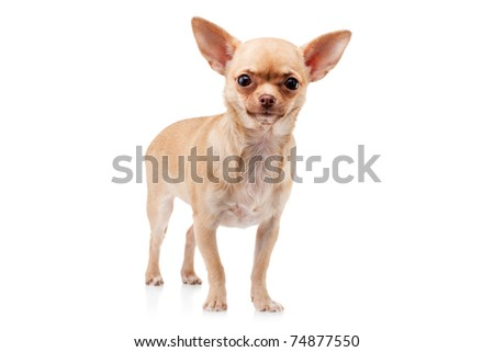 Cute  Chihuahua dog, isolated on white background - stock photo