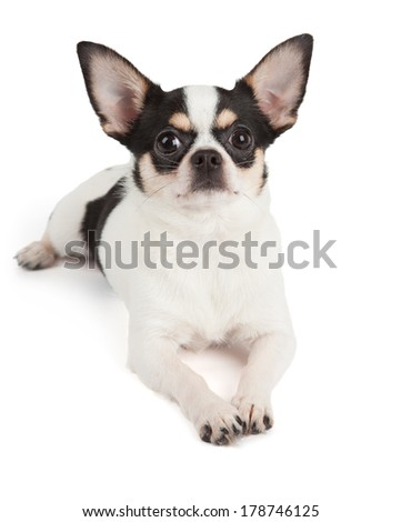 Cute Chihuahua dog isolated over white background