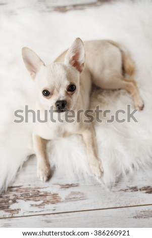 Cute chihuahua dog sits on white carpet in room, indoors, sweet home - stock photo
