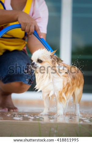 cute chihuahua dog take a bath in home