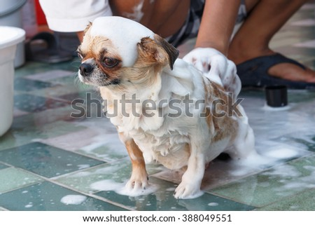 Cute Chihuahua dog taking a bath and look something.