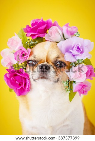 Cute Chihuahua dog wearing Flower crown on yellow background. - stock photo