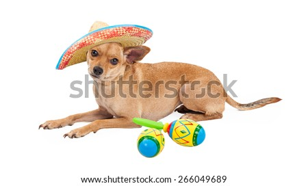 Cute Chihuahua dog wearing Mexican Sombrero laying on a white background next to a pair of colorful maracas - stock photo